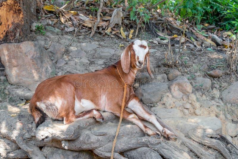 Установка козы в тени дерева в ярком солнечном дне стоковое фото rf
