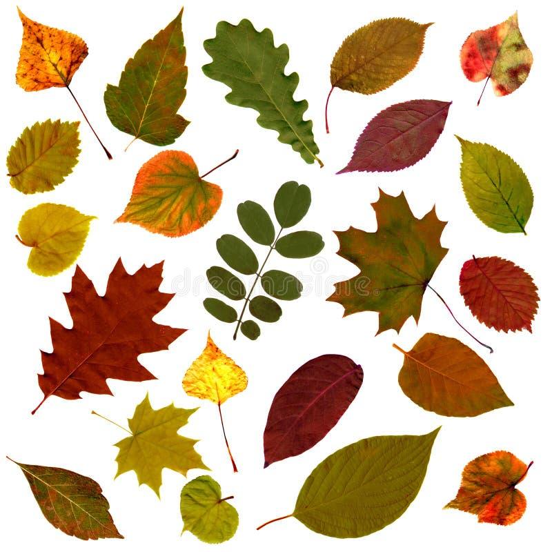 Установленные листья осени изолированными на белой предпосылке стоковая фотография rf
