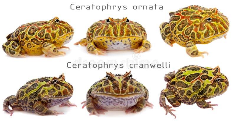 Установленные лягушки pacman белыми стоковая фотография