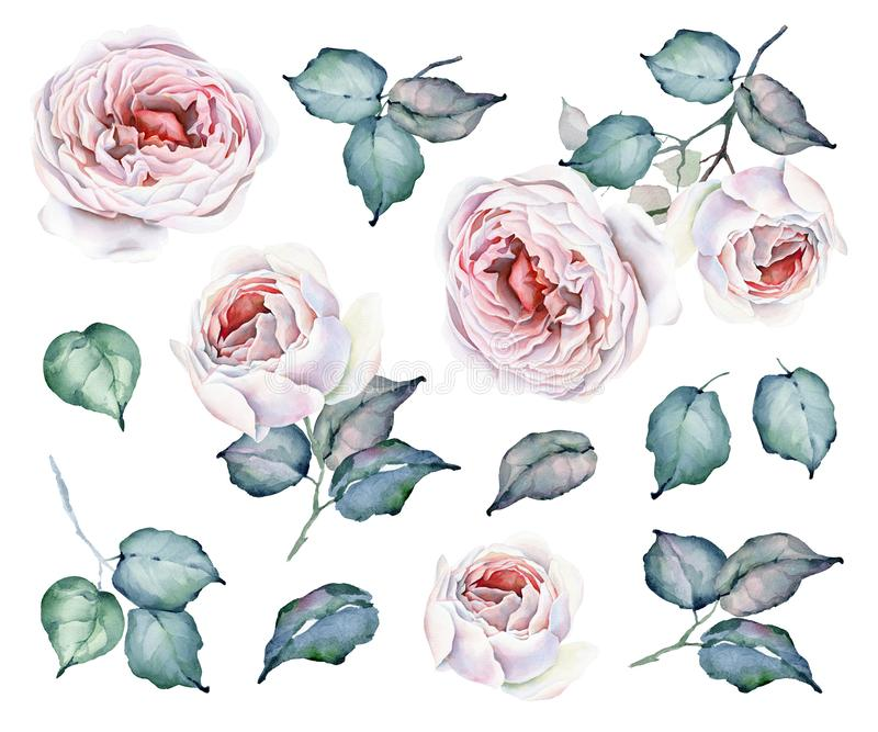 Установленные цветки акварели Букеты роз и флористические элементы иллюстрация штока