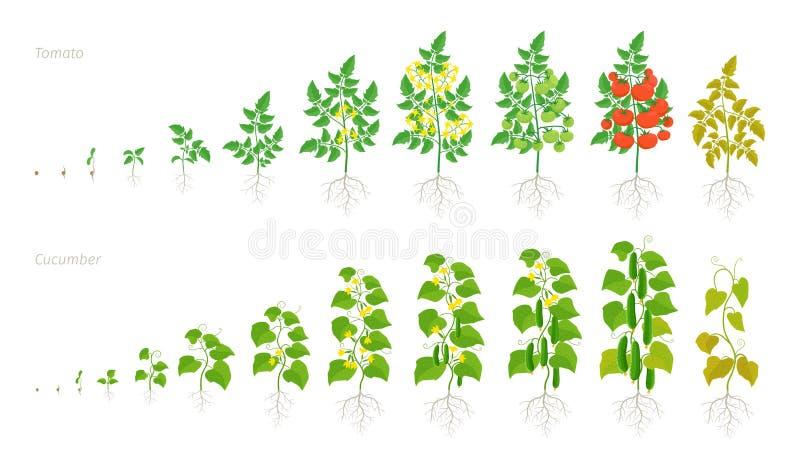 Установленные этапы роста завода томата и огурца Зрея период Жизненный цикл овощей жмет развитие анимации иллюстрация штока