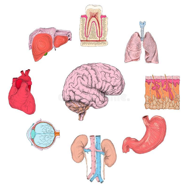Установленные человеческие органы иллюстрация вектора