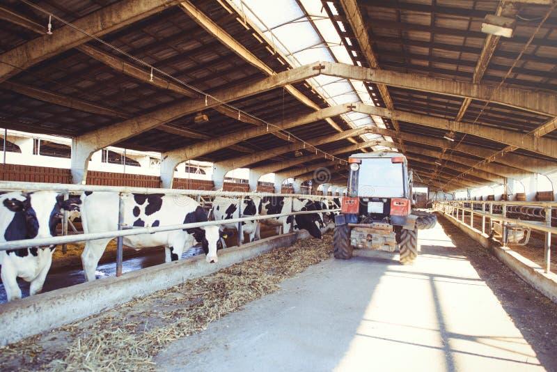 Устрашайте концепцию фермы земледелия, земледелия и поголовья - табуна коров которые используют сено в амбаре на молочной ферме,  стоковая фотография rf