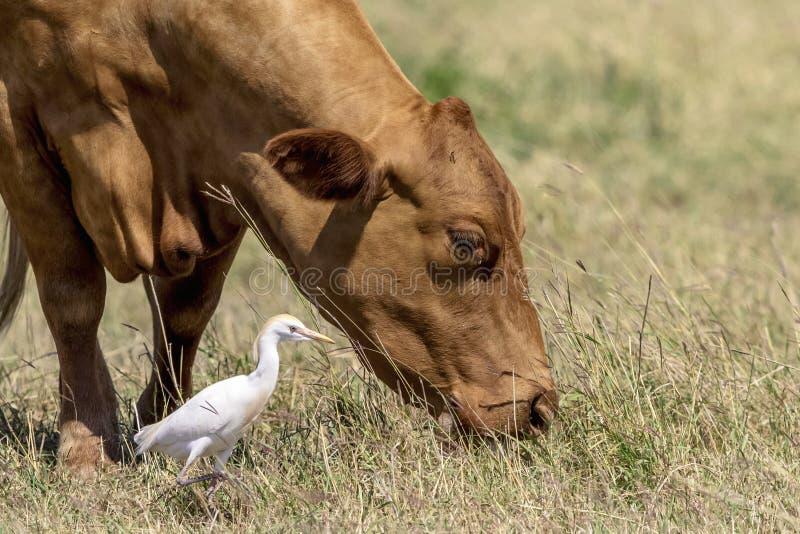 Устрашайте с egret скотин в Техасе стоковая фотография