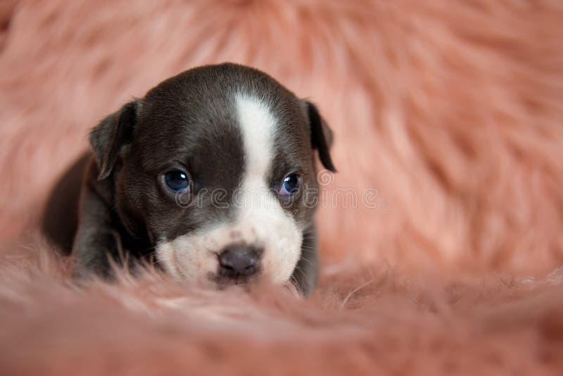 Устрашенный щенок Amstaff виновно смотря вверх стоковая фотография rf