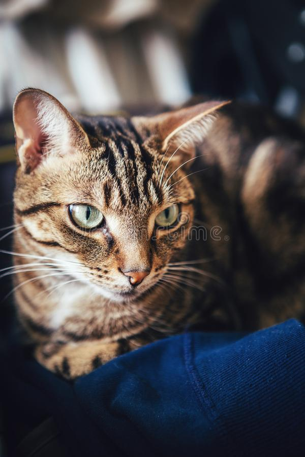 Устрипанный кот-табун, лежащий на одежде дома стоковые фотографии rf