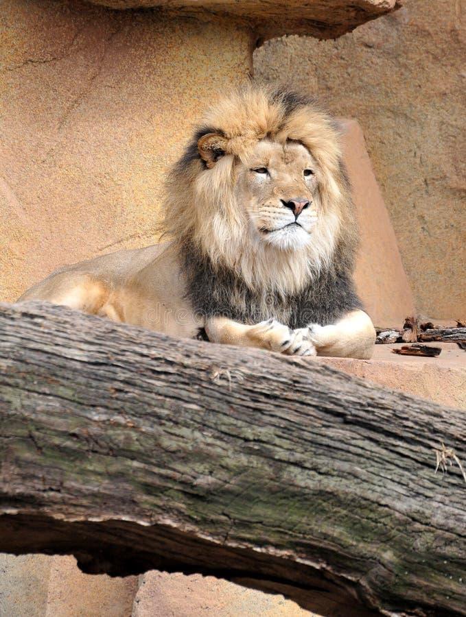 утесы льва ослабляя стоковые фотографии rf