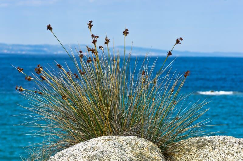 Утесы моря и среднеземноморская сухая трава на утре в Sithonia стоковые изображения
