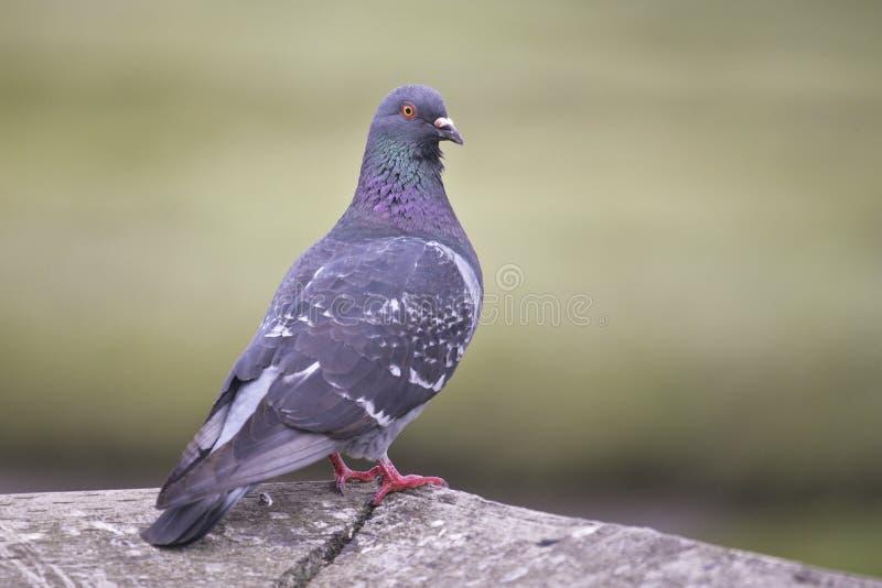 утес вихруна dove стоковые изображения rf