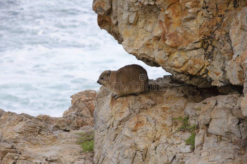 утес hyrax стоковое изображение rf