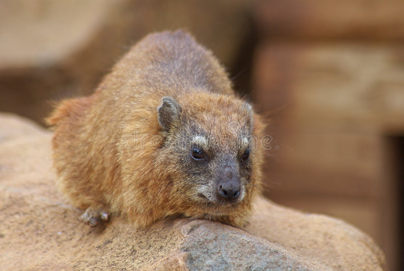 утес hyrax стоковые изображения rf
