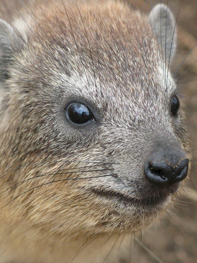 утес hyrax стоковые изображения