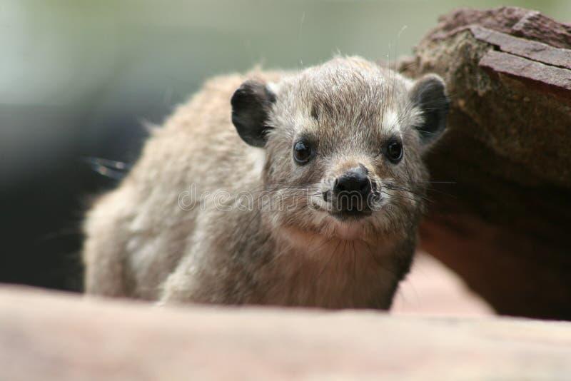 утес hyrax стоковая фотография rf