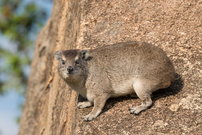 утес procavia hyrax capensis латинский названный стоковая фотография