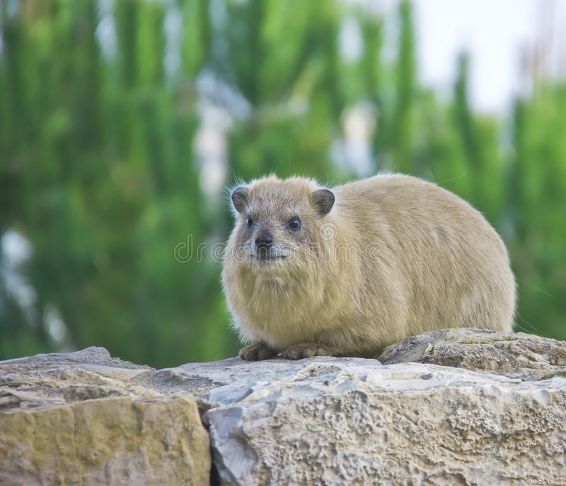 утес procavia hyrax capensis стоковые фотографии rf