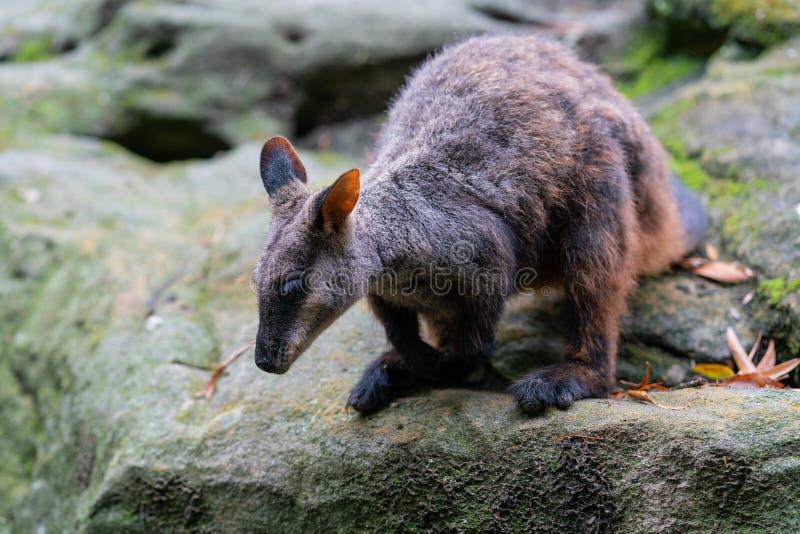 Утес-wallaby замкнутый щеткой или небольшое ушастое penicillata Petrogale wallaby утеса готовые для того чтобы поскакать от утеса стоковые фотографии rf