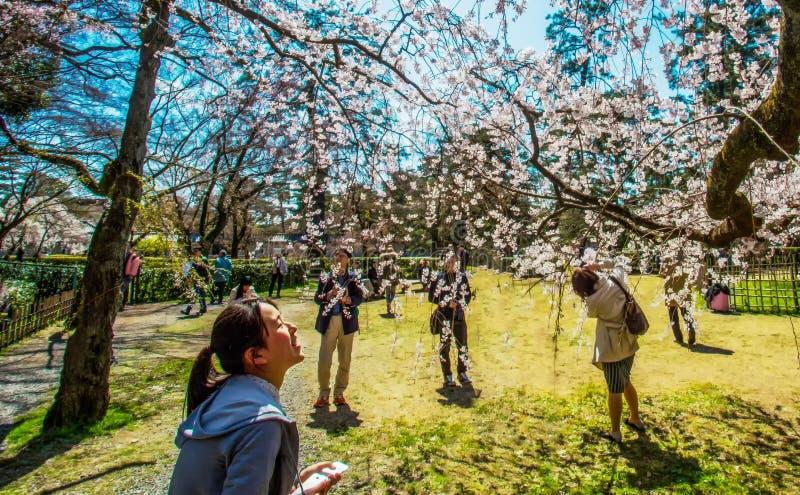 Утеха от цветения Сакуры стоковое фото