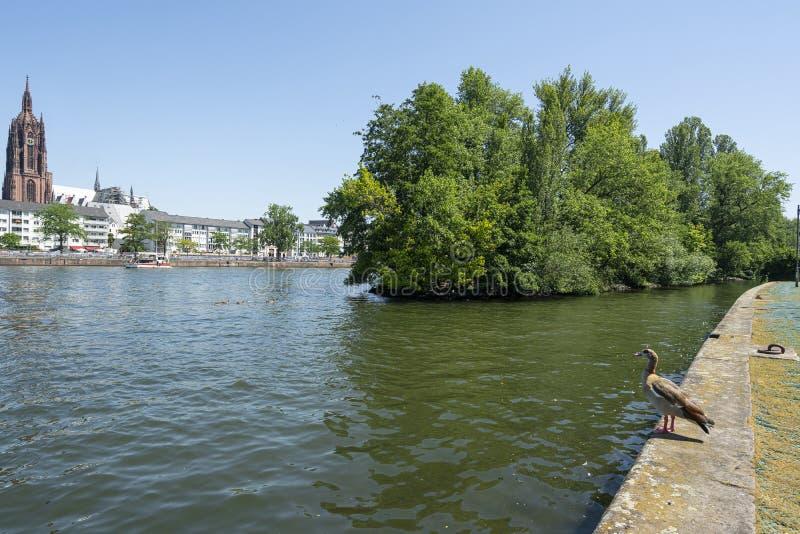 Утка в основе реки во Франкфурте стоковая фотография rf