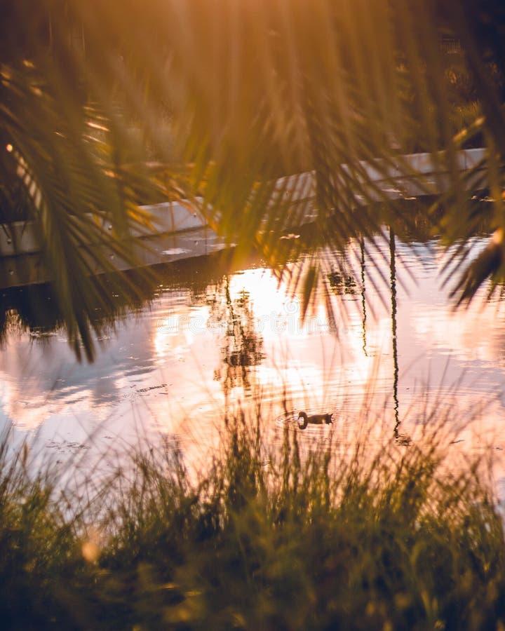 Утка в пруде стоковое изображение