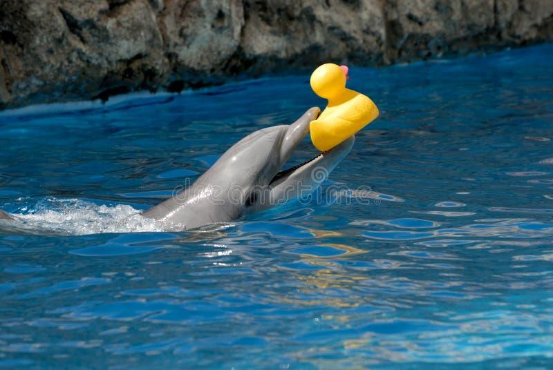утка дельфина играя резину стоковое изображение rf