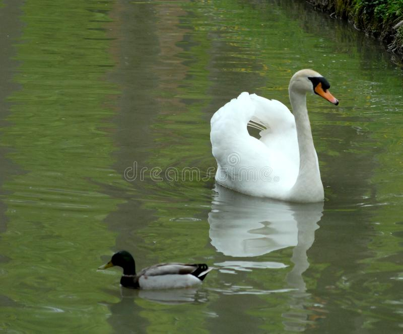 Утка и белый лебедь стоковая фотография rf