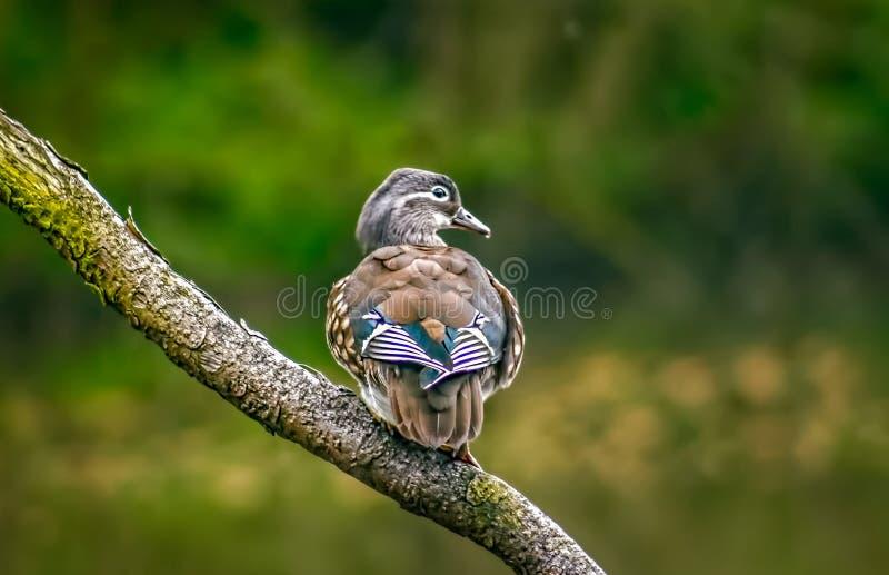 Утка кряквы стоя на ветви стоковая фотография