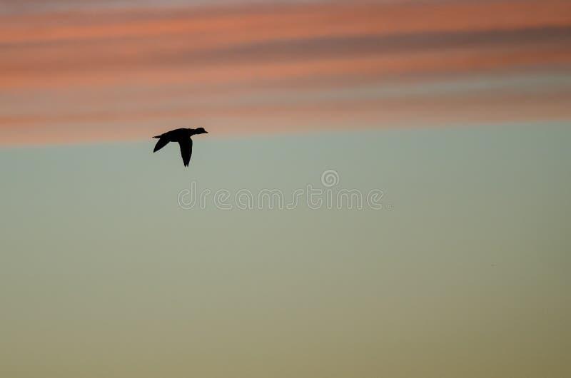 Утка кряквы Silhouetted в небе захода солнца по мере того как оно летает стоковые изображения rf