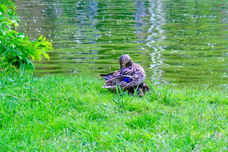 Утка матери прихорашиваясь свои пер пока свои утки 2 младенцев спят уютный под ее крыльями, на зеленой траве, на крае озера стоковая фотография rf