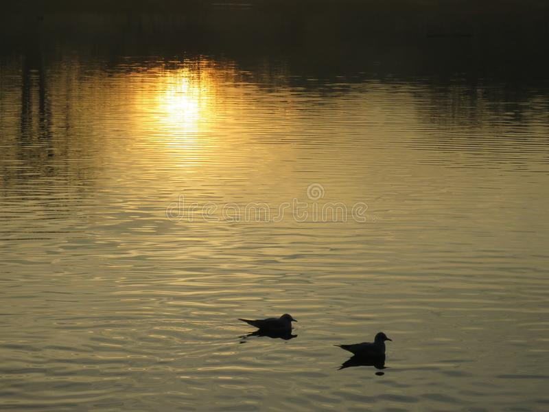 Утка 2 наслаждается заходящим солнцем стоковые изображения rf