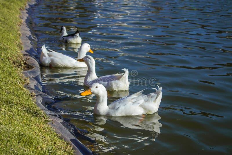 Утка на воде с друзьями стоковое изображение rf