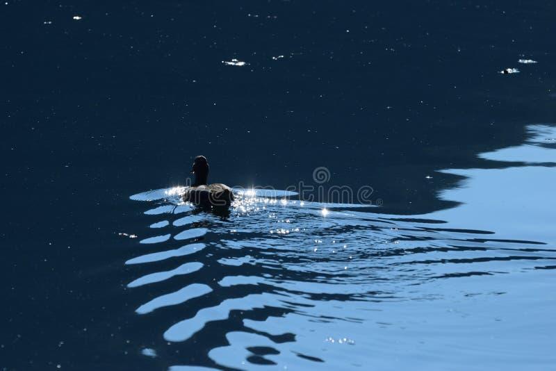 Утка на озере Jajce в Босния и Герцеговина стоковая фотография