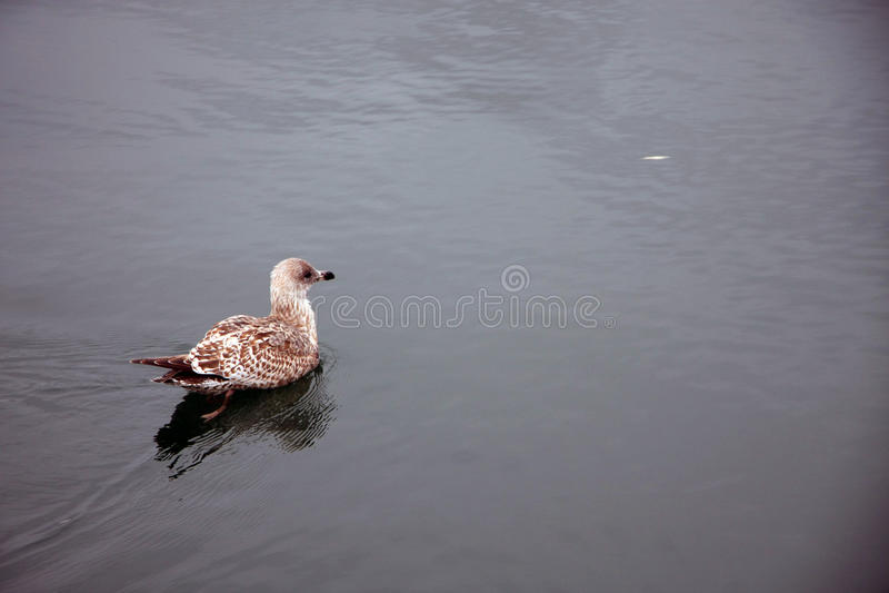 Утка на реке стоковое фото