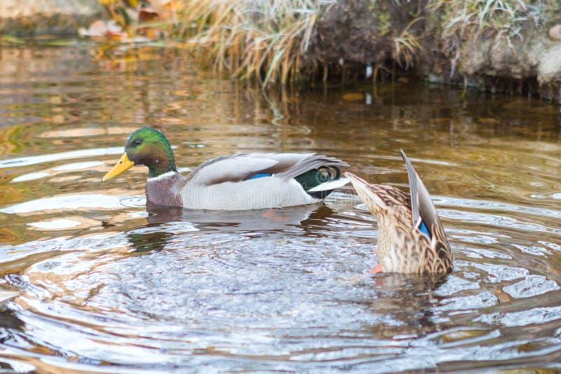Утка плавает в озеро, подныривание утки стоковая фотография