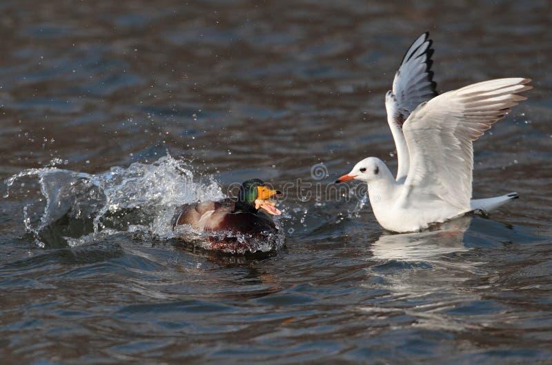 Утка чайки и кряквы стоковые фотографии rf