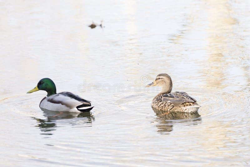 утка anas смотря стоячую воду platyrhynchos вы стоковые фотографии rf