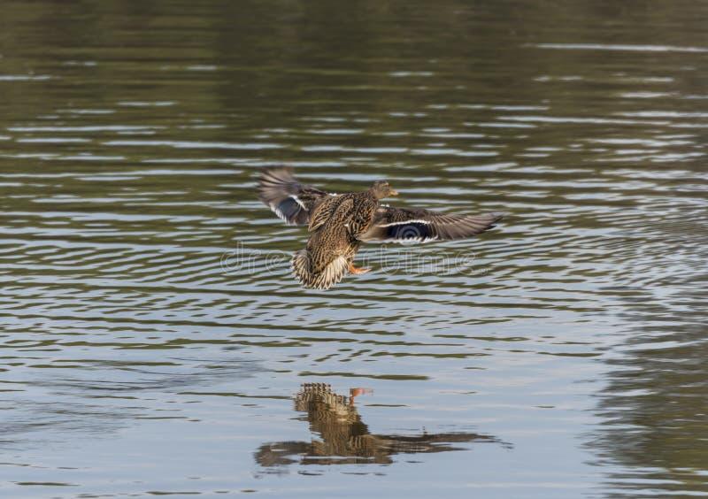 утка anas смотря стоячую воду platyrhynchos вы стоковая фотография