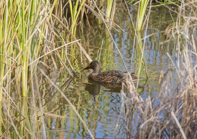 утка anas смотря стоячую воду platyrhynchos вы стоковые фото