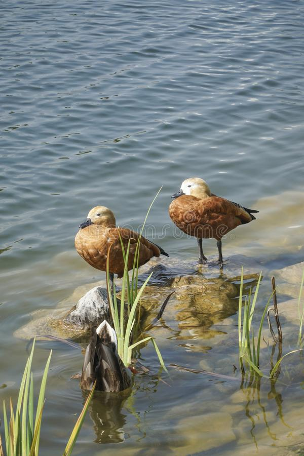 Утки Брайна на озере стоковое фото rf