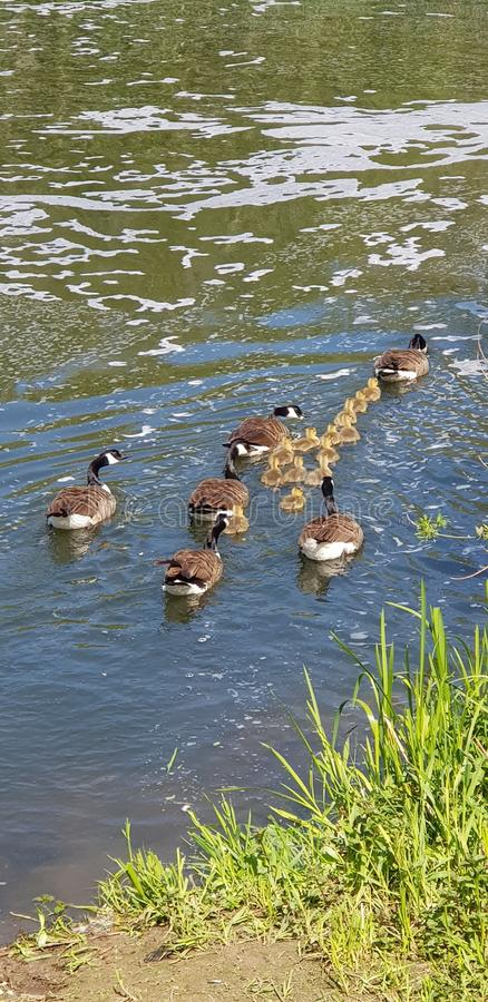 Утки все матери и младенца плавая в ряд стоковое изображение rf