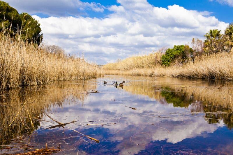 Утки в лагуне стоковое изображение rf