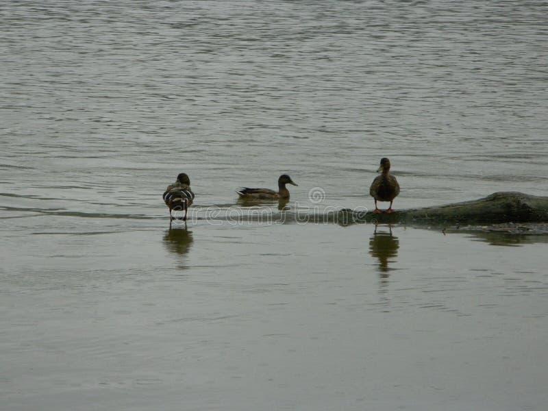 Утки в воде стоковое фото
