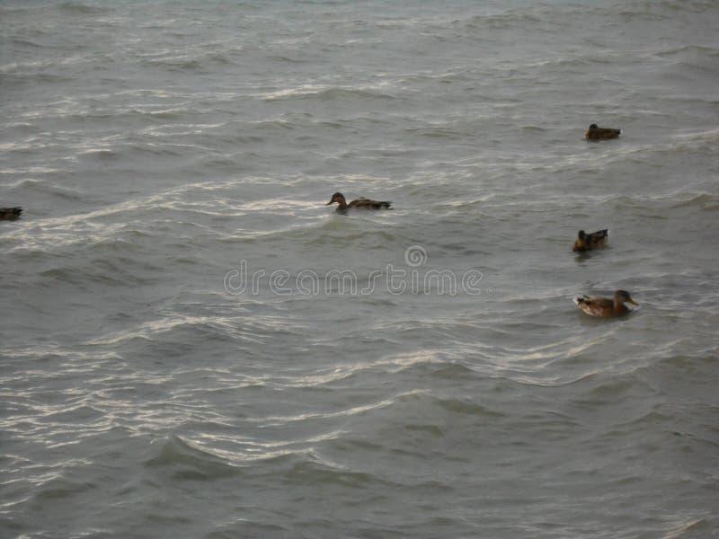 Утки в море венгра воды стоковые фотографии rf