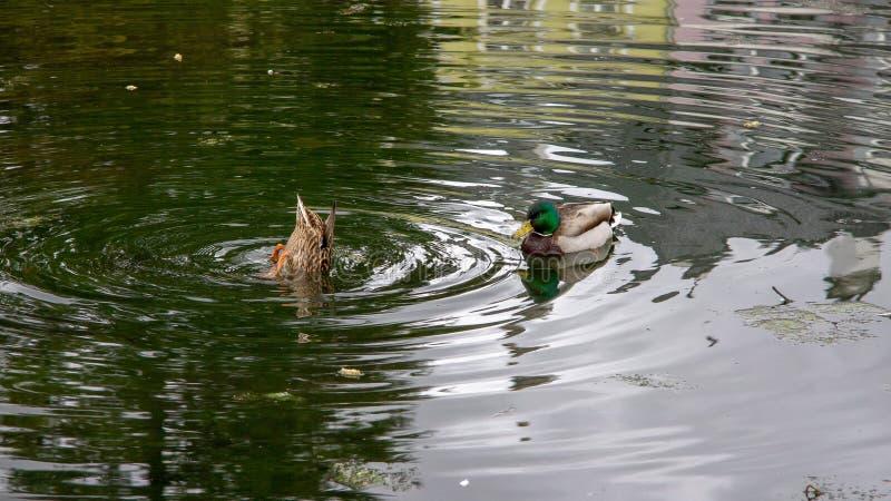 Утки в пруде с отражениями стоковые изображения rf