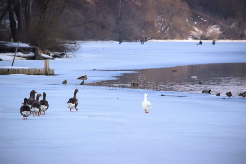 Утки в реке зимы ища еда стоковое фото