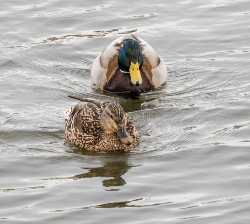 утки в реке стоковое фото rf