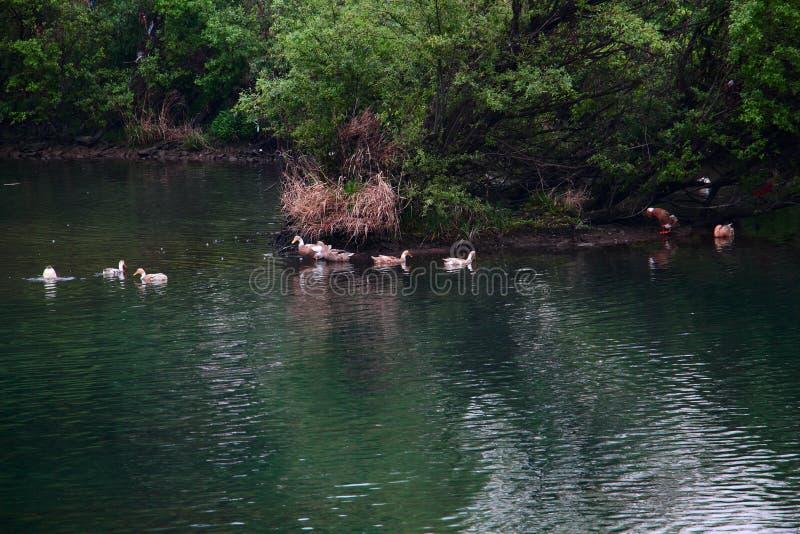 Утки играли в озере стоковое фото