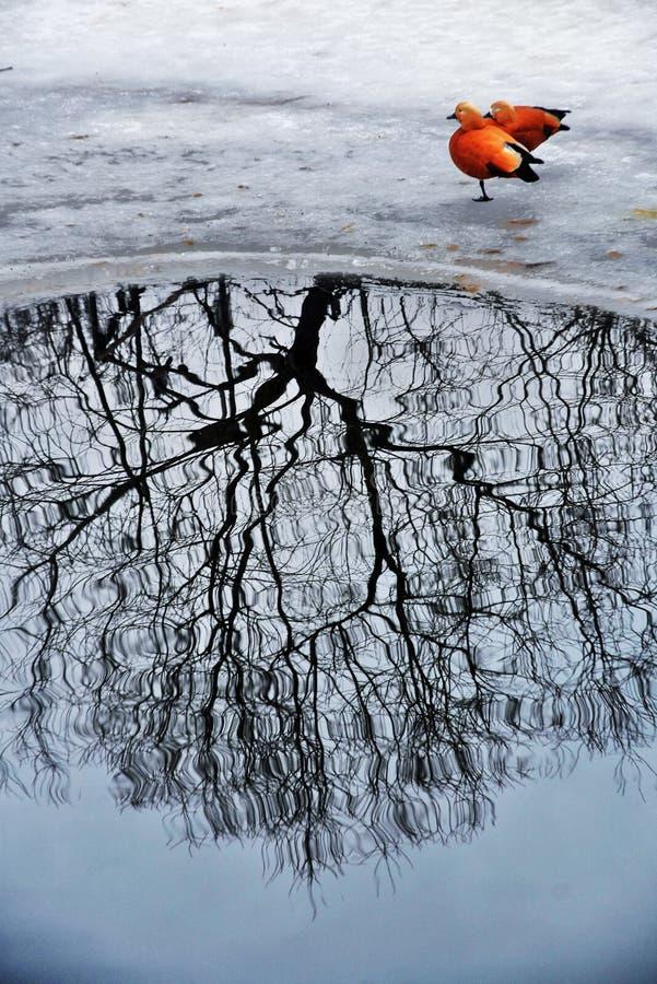 Утки идут на замороженное реку стоковая фотография
