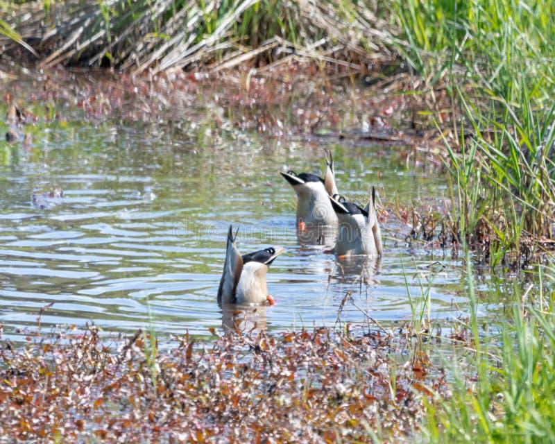 3 утки кряквы плещась в небольшом пруде с оковалками вверх стоковая фотография rf