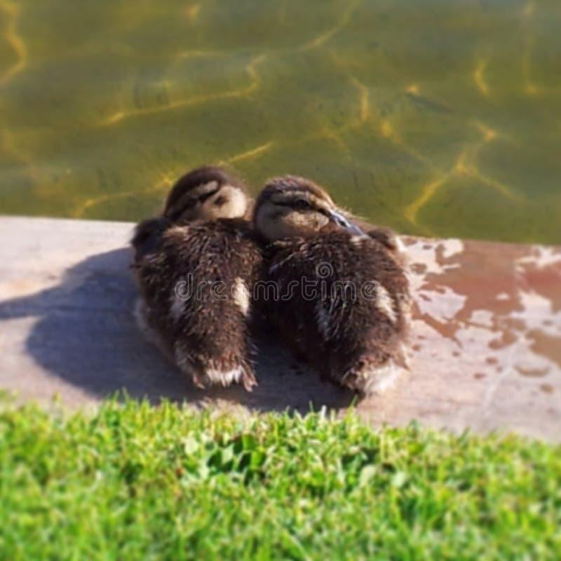 2 утки младенца ютясь совместно стоковое фото rf