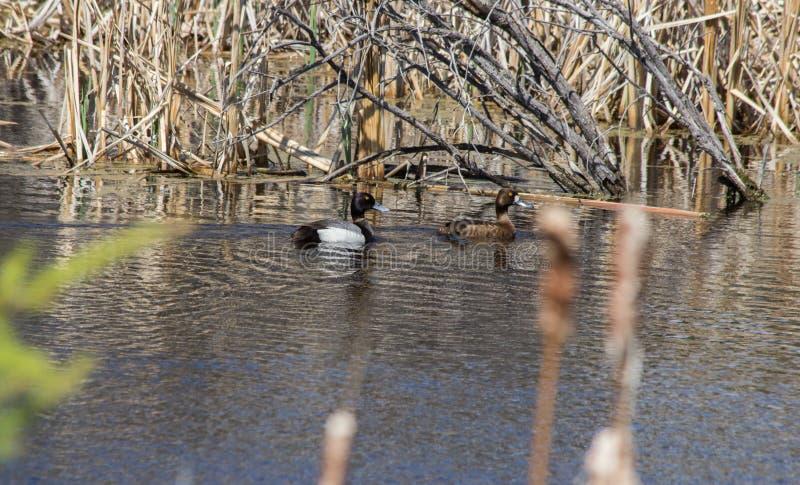 2 утки на воде стоковая фотография